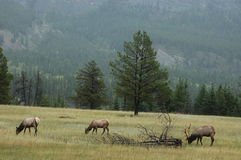 Grazing Elk. In an open meadow Royalty Free Stock Image