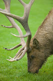 Grazing Elk Stock Photo