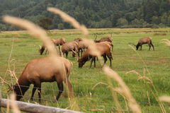 Grazing Elk  Royalty Free Stock Images