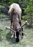A grazing elk with fuzzy antlers Royalty Free Stock Photography
