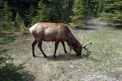 A grazing elk with fuzzy antlers Royalty Free Stock Images