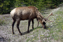 A grazing elk with fuzzy antlers Royalty Free Stock Image