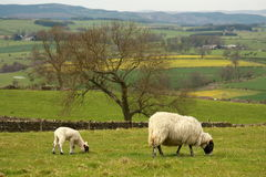 Grazing ewe with lamb. Picture of grazing ewe with lamb Stock Photos