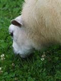 Grazing Ewe. A single sheep grazes a paddock of clover stock photography