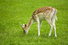 Grazing fallow deer fawn close-up Royalty Free Stock Photography