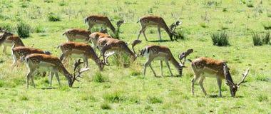 Grazing fallow deers Stock Image