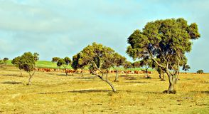 Grazing in the field. Several cows grazing in the field, with trees and skies in the background Royalty Free Stock Photos
