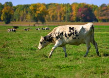 Grazing in the Field Royalty Free Stock Photography