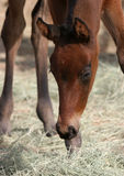 Grazing Filly Stock Photography