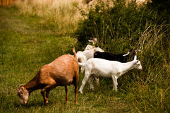 Grazing Flock Of Goats Stock Photo