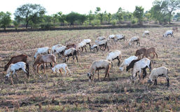 Grazing flock of goats Royalty Free Stock Image