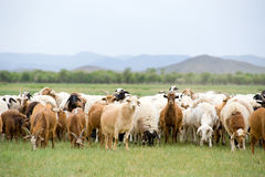Grazing flock of goats and sheep Stock Photography