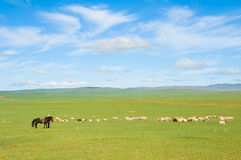 Grazing flock of sheep. Flock of sheep grazing at green pasture stock images