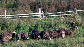 Grazing flock of sheep in pasture stock footage