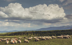 Grazing flock of sheep Royalty Free Stock Photo