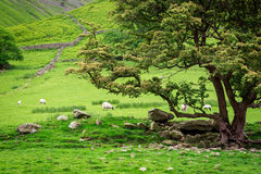 Grazing flock of sheeps near big tree, UK Stock Photography