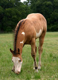 Grazing Foal. American Paint Horse, buckskin overo colt, grazing on spring grass Royalty Free Stock Images