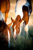 Grazing Foal Royalty Free Stock Image