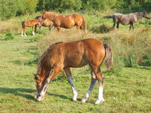 Grazing Foal Royalty Free Stock Photos