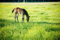 Grazing Foal Royalty Free Stock Photo