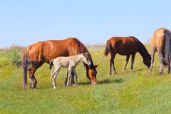 Grazing  foal  animals Royalty Free Stock Image