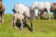Grazing  foal  animals. At summer meadow Royalty Free Stock Image