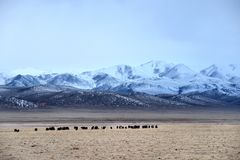 Grazing at the foot of snow mountain. In winter Stock Image