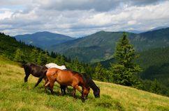 Grazing four mountain horses Stock Photography