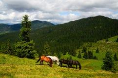 Grazing four mountain horses Royalty Free Stock Image
