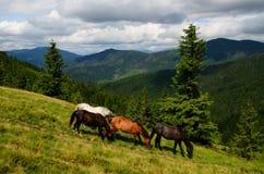 Grazing four mountain horses Royalty Free Stock Photo