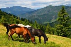 Grazing four mountain horses Stock Photo
