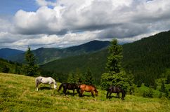 Grazing four mountain horses Royalty Free Stock Images