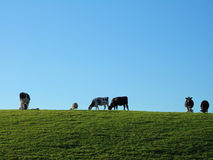 Grazing Friesian cattle