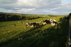 Field of milking cows. Grazing Friesians enjoying the sunshine & freedom of outdoors Royalty Free Stock Photos
