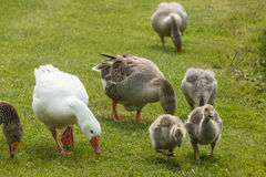 Grazing geese with goslings Royalty Free Stock Photo