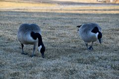 Grazing Geese Stock Photo