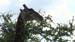 Grazing Giraffe stock footage
