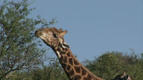 Grazing Giraffe stock video footage