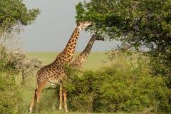 Grazing giraffes in the Maasai Mara. Two giraffes grazing on vegetation in the Maasai Mara, Kenya Royalty Free Stock Photos