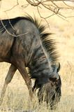 Grazing gnu. Portrait of a grazing gnu Stock Image