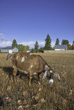 Grazing goat. Royalty Free Stock Image