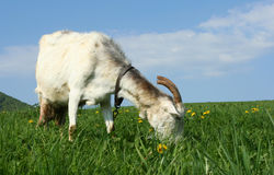 Grazing goat Royalty Free Stock Images
