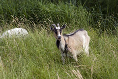 Grazing goat. Lonely goat standing in high, green grass Stock Photo