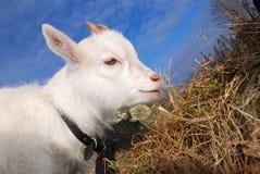 Grazing goat kid Stock Photography