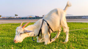 Grazing Goat. In the Park Stock Photo