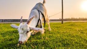 Grazing Goat Stock Image