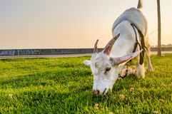 Grazing Goat Royalty Free Stock Photography