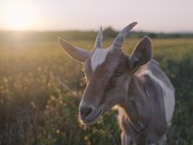 Goat in pasture close up royalty free stock photos