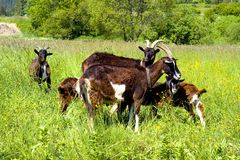 Grazing Goats Stock Image