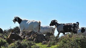 Grazing goats on the Akamas peninsula, Cyprus Stock Photos